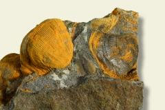 3_Brachiopode Linoproductus