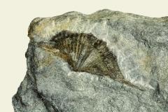 4_Brachiopode Brachythirina